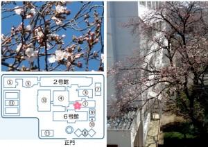 桜開花160322