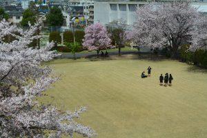 ▲満開の桜が新入生を迎えました。